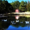 Red-barn-with-geese