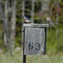 bluebirds-on-box